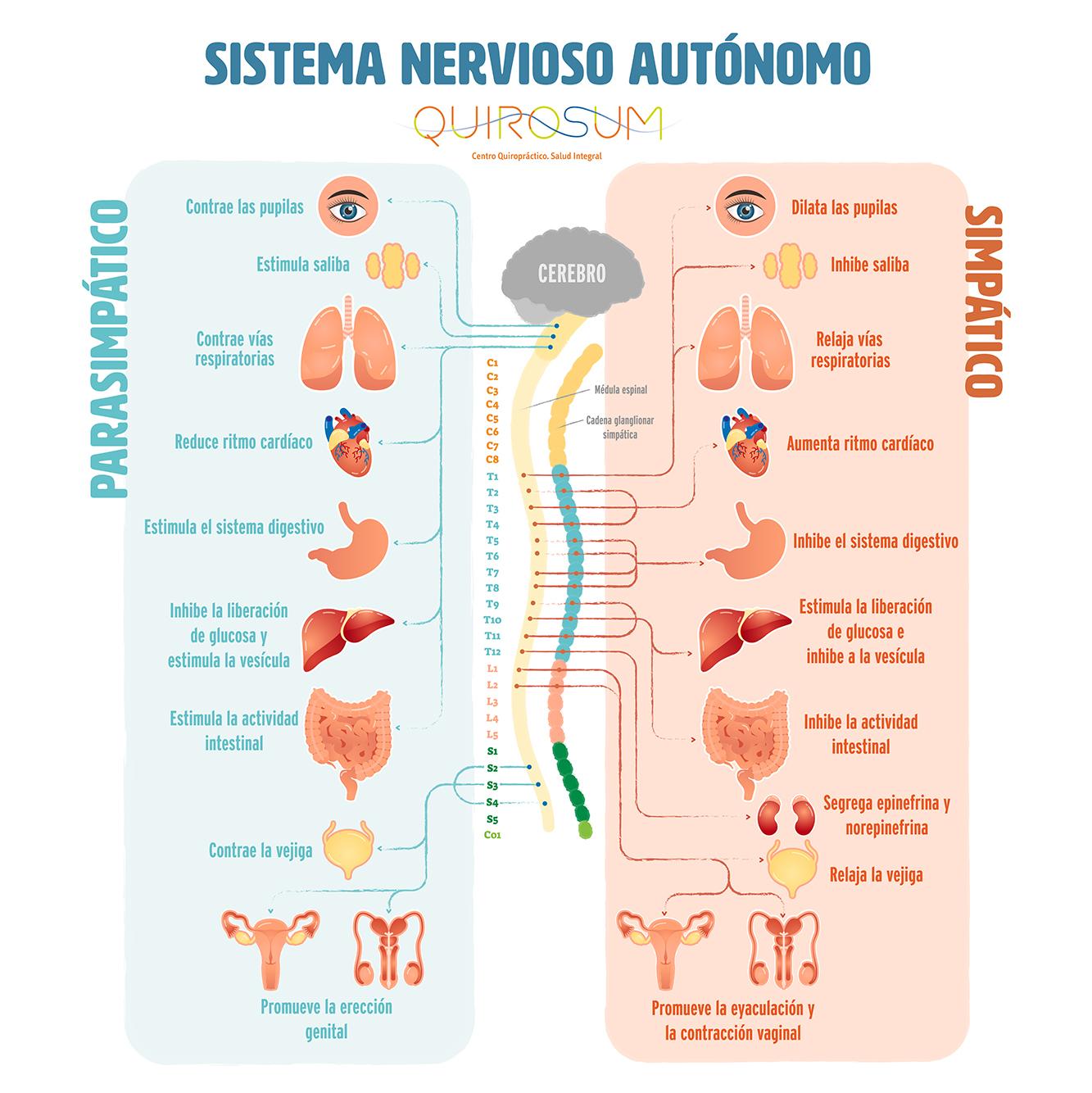 sistema nervioso cómo funciona